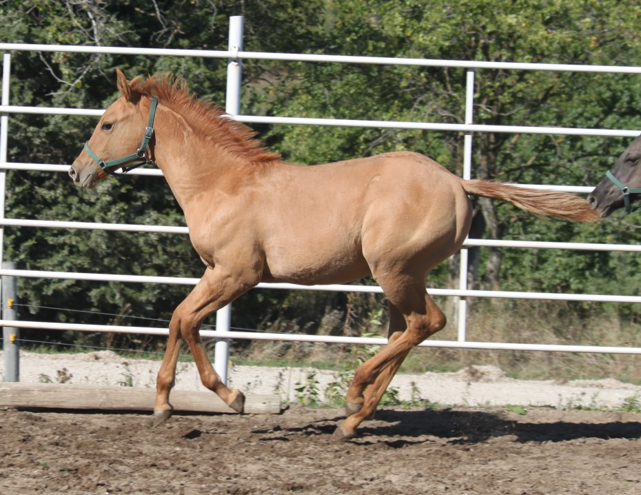 Red Dun mare, Hollywood Jac 86, Topsail Cody, Peppy San, Leo