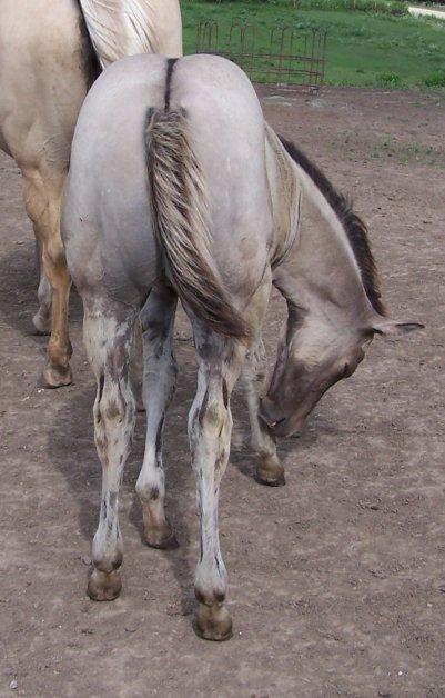 Hi Jacd Silver, Silver grullo foundation quarter horse mare