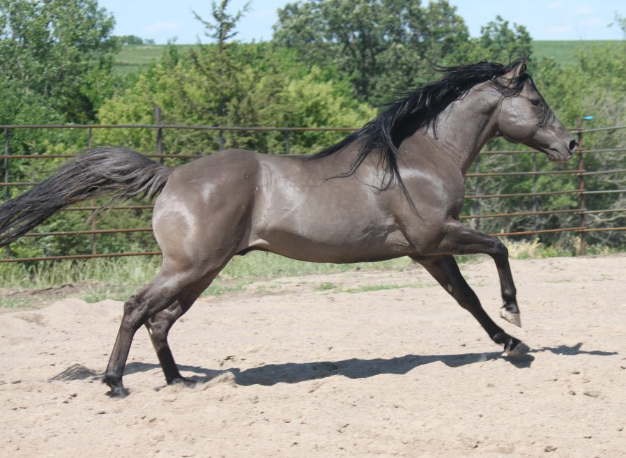 grulla horses for sale